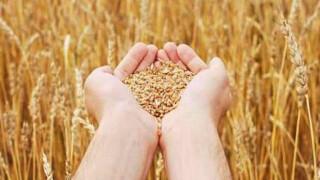 Самогон из пшеницы без сахара