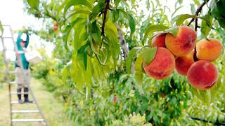 Персиковый бренди